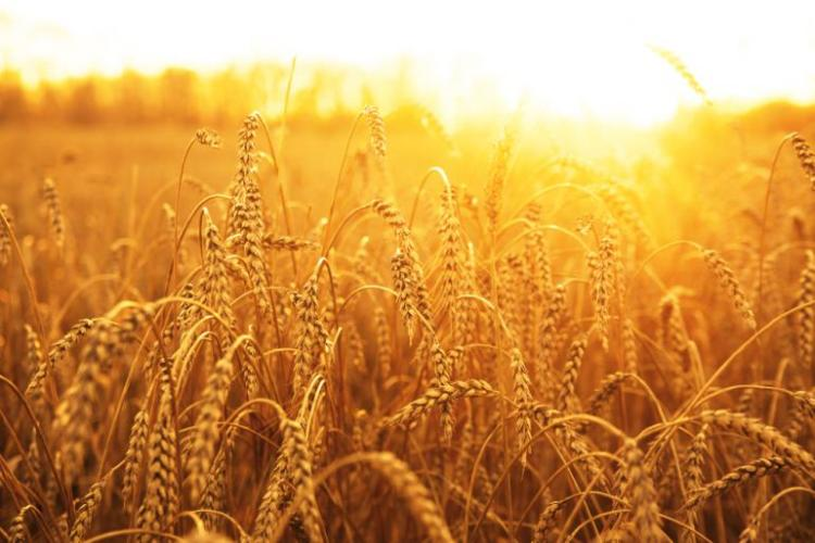 Golden Fields of Wheat at Dawn