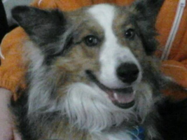 Snickers: Collie Mix, age 7